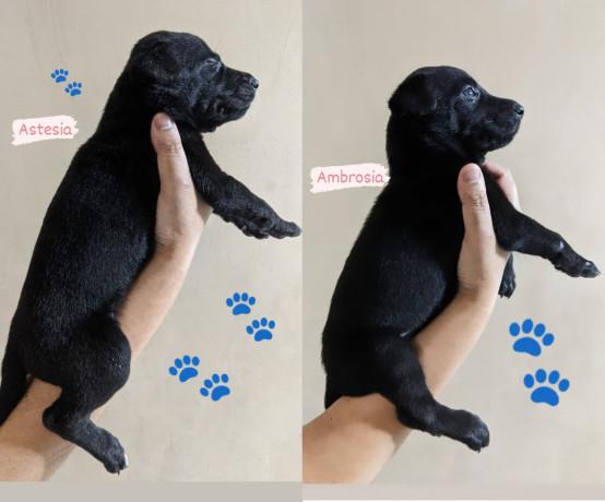 belgian-malinois-puppies-big-1